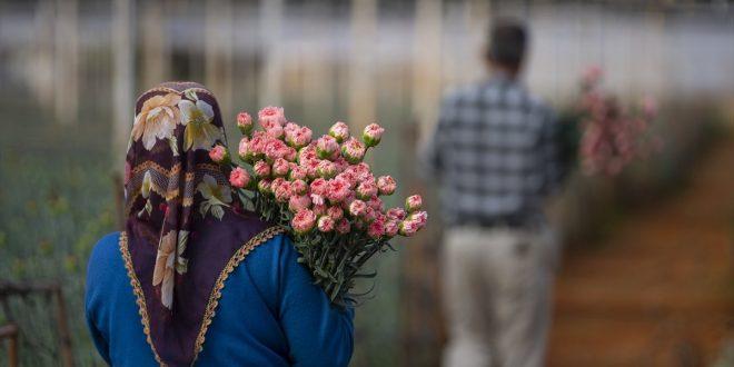 مزارعو الزهور الأتراك يستعدون لتلبية طلباتهم لبريطانيا