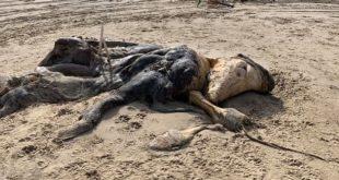 جثة مخلوق غامض تظهر على شاطىء ليفربول