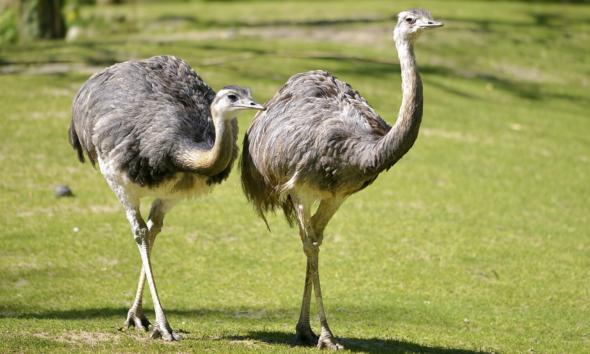الشرطة البريطانية تحذر من طيور الريا الضخمة ذات سرعة تصل ل 80 كيلو بالساعة